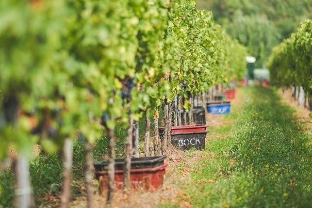 Bock_szőlő