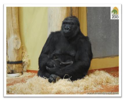 Endrész_gorilla